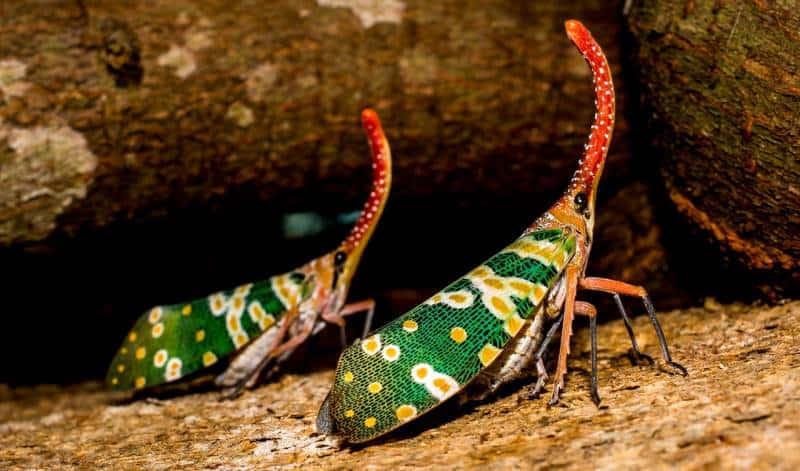 Zikade Dschungelcamp