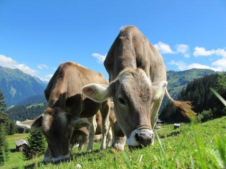 Die agile Kuh